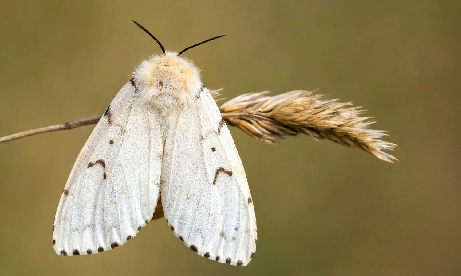 Picture of the Gypsy Moth